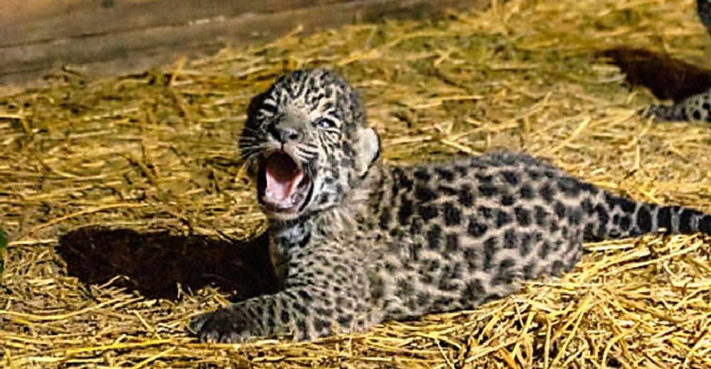 Nacen al fin dos hermosos cachorros de jaguar tras el complicado apareamiento de sus padres