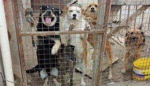 Con 30 perros en su casa pide ayuda para poder darlos en adopción completamente recuperados