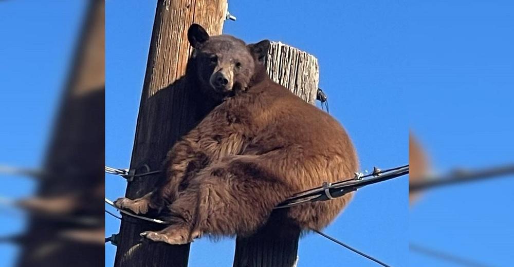 Intentan rescatar a un oso que se quedó atascado en un poste de energía