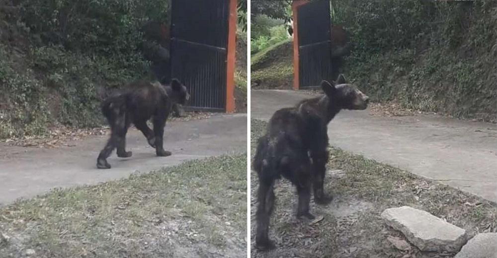 Graba a un oso famélico vagando en busca de comida por la calle y suplica que alguien lo ayude