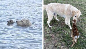 Perrito nada sin parar en el lago hasta salvar a un ciervo bebé que se ahogaba