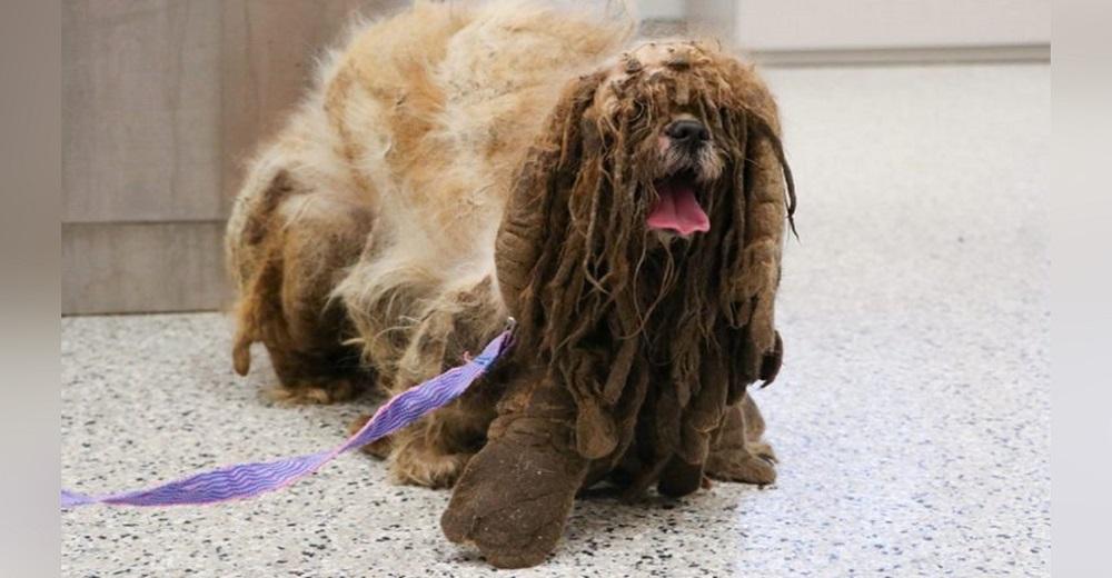Desolado perrito abandonado arrastrando 3 kilos de marañas, suplicaba algo de cariño y atención