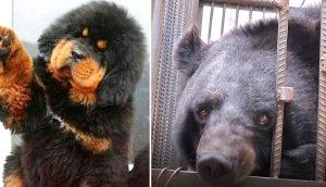 """El veterinario alerta a la policía poco después de recibir a un """"perro"""" de más de 110 kilos"""
