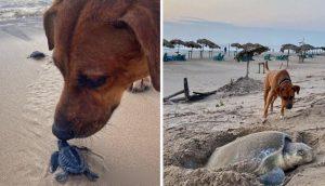 Va a la playa para proteger y ofrecer su cariño a las tortuguitas bebés y a su madre