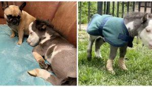 El poni más pequeño del mundo sufre tras ser rechazado por su mami pero dos perritos lo adoptan