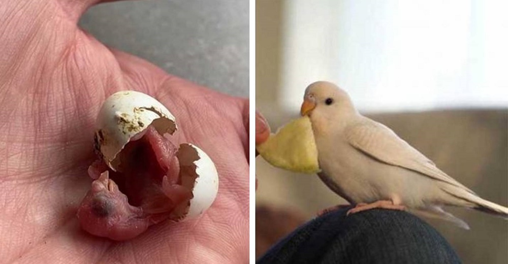 Encuentra un huevo abandonado en una tienda y lo ayuda a convertirse en un hermoso periquito