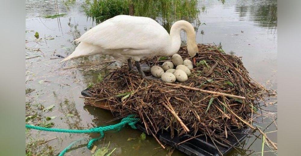 Durante 10 años un hombre ha visto un cisne perder sus huevos, desolado decide ayudarla