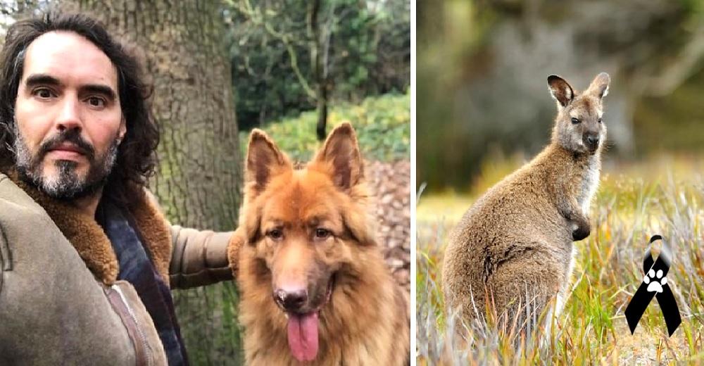 Señalan al actor Russell Brand por no haber impedido que su perro atacara a un walabí y su cría