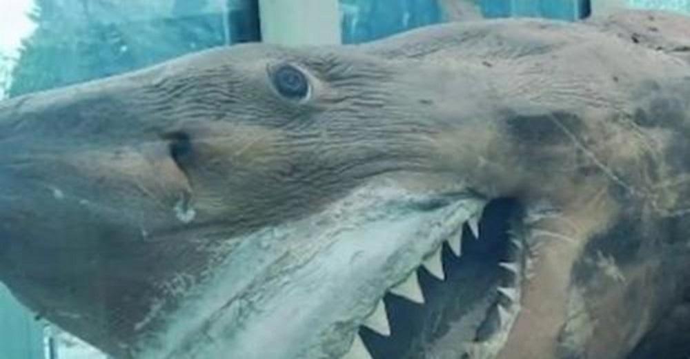 Hallan el cuerpo de un enorme tiburón blanco en perfecto estado «olvidado» en un parque acuático