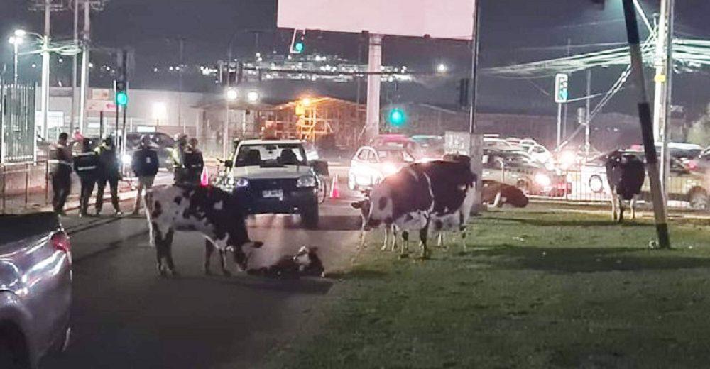 Vaca embarazada que huyó desesperada interrumpe el tráfico porque le llegó la hora de dar a luz