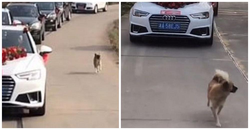 Perrito no fue invitado a la boda de su dueña pero la persiguió por 9 km para mostrarle su amor