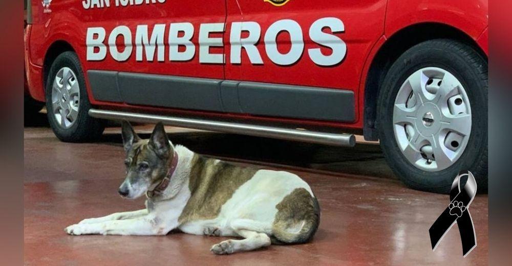 """""""Nos acompañaste siempre"""" – Los bomberos lloran la pérdida de la perrita que trabajaba con ellos"""