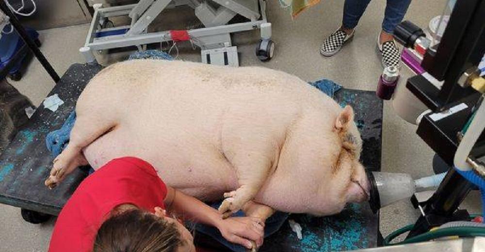 Abandonan a una adolorida cerdita con sobrepeso dentro de una jaula, casi no podía moverse