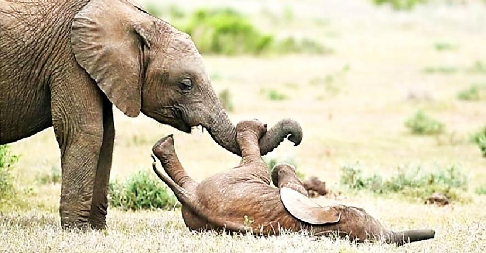Elefante bebé rueda por el suelo de la risa tras pedirle a su hermano que le haga cosquillas