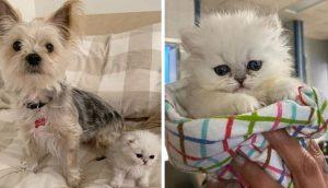 Dulce gatito de tres patas conquista el corazón de la veterinaria que salvó su vida