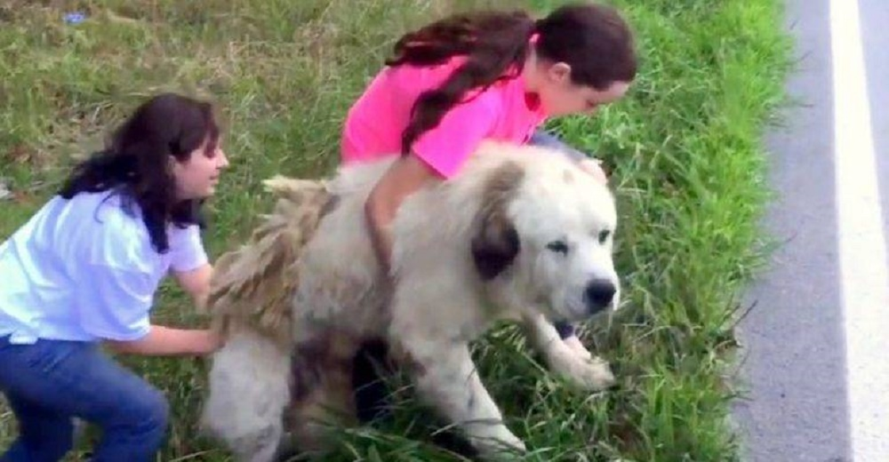 Una familia regresa para auxiliar al perro Gran Pirineo que yacía inmóvil junto a la carretera