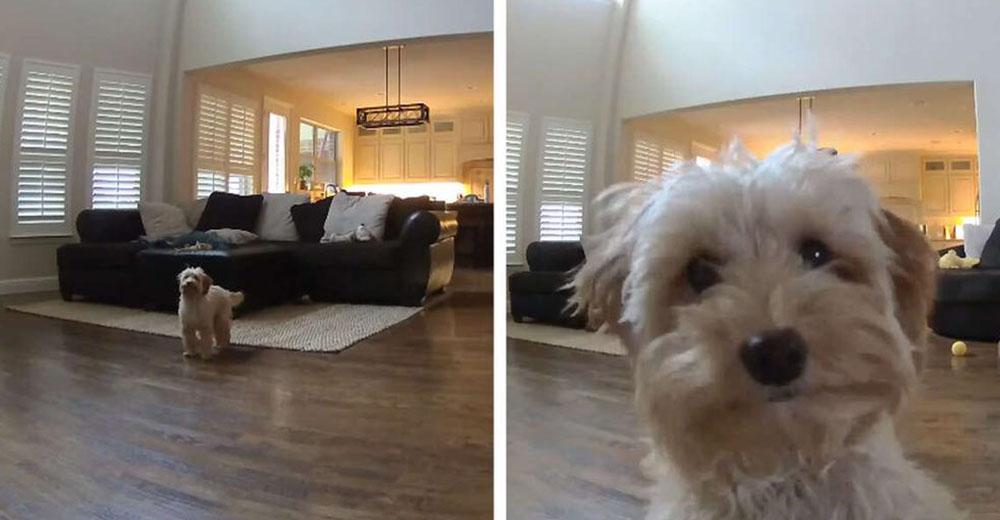 Una perrita creía que estaba sola en casa, de repente escucha la voz de papá que la vigila