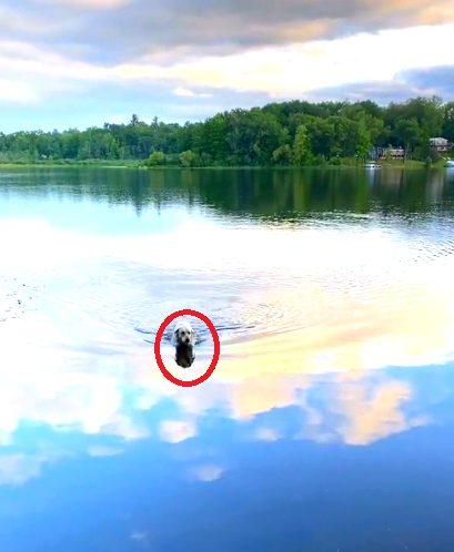 Perro nada todos los días a través de un lago para hacer amigos