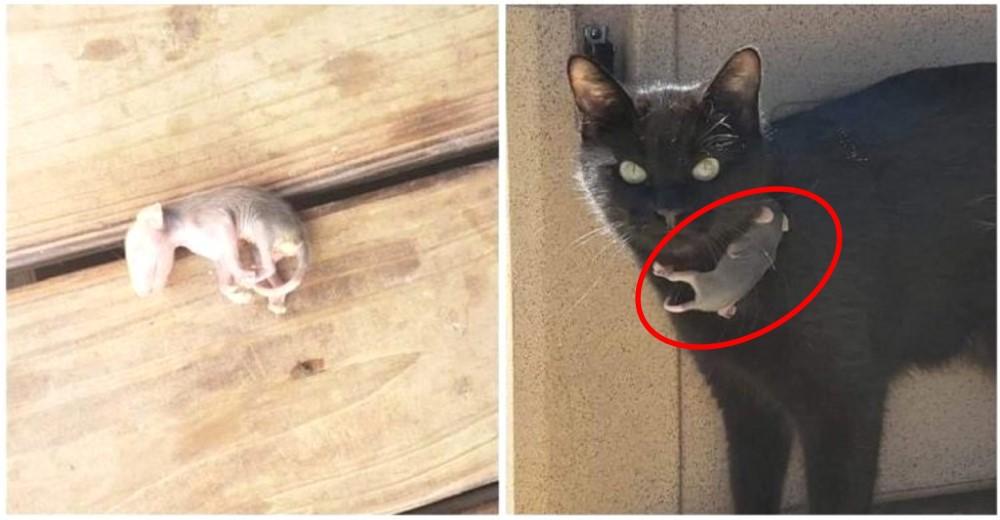 Una gata rescata a una zarigüeya bebé que ahora cree que es su bebé