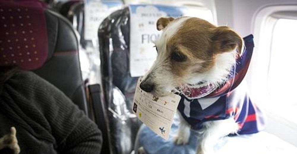 Aerolínea permite a los pasajeros viajar junto a sus perritos en la cabina principal