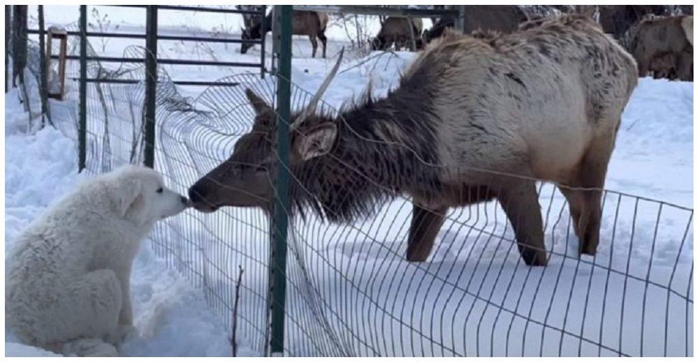 Un perrito intercambia besos con un alce salvaje que conoció al otro lado de la valla