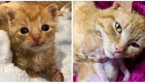 Dulce gata adopta como suyo al indefenso gatito rescatado en la carretera y lo llena de amor