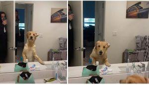 Golden retriever encuentra por fin a su papá en el espejo mientras jugaban a las escondidas