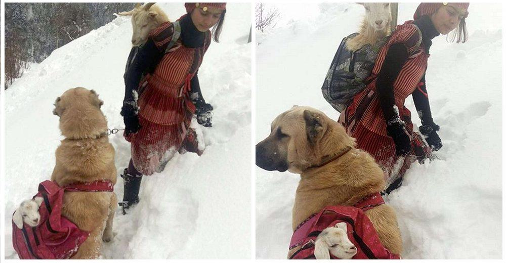 Niña de 11 años y su perrito ayudan a una cabra a dar a luz en la nieve y salvan a su bebé