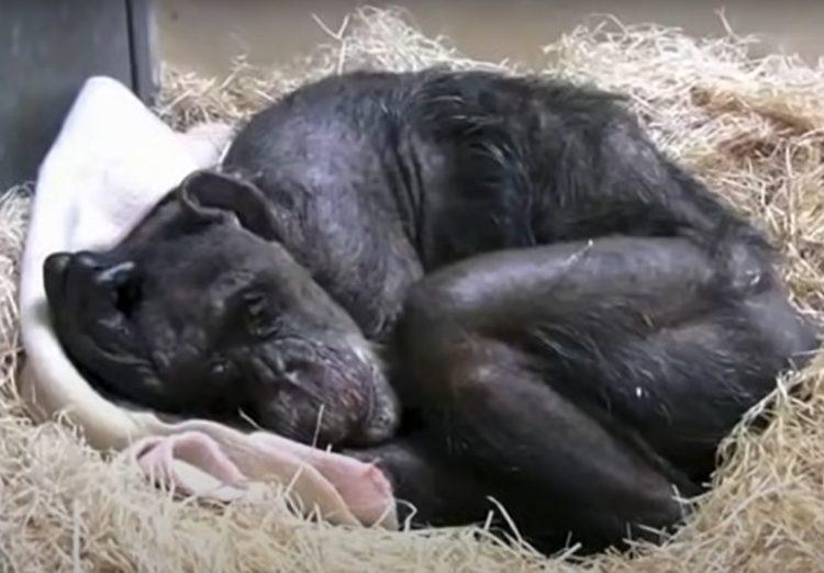 chimpancé anciana y su cuidador humano