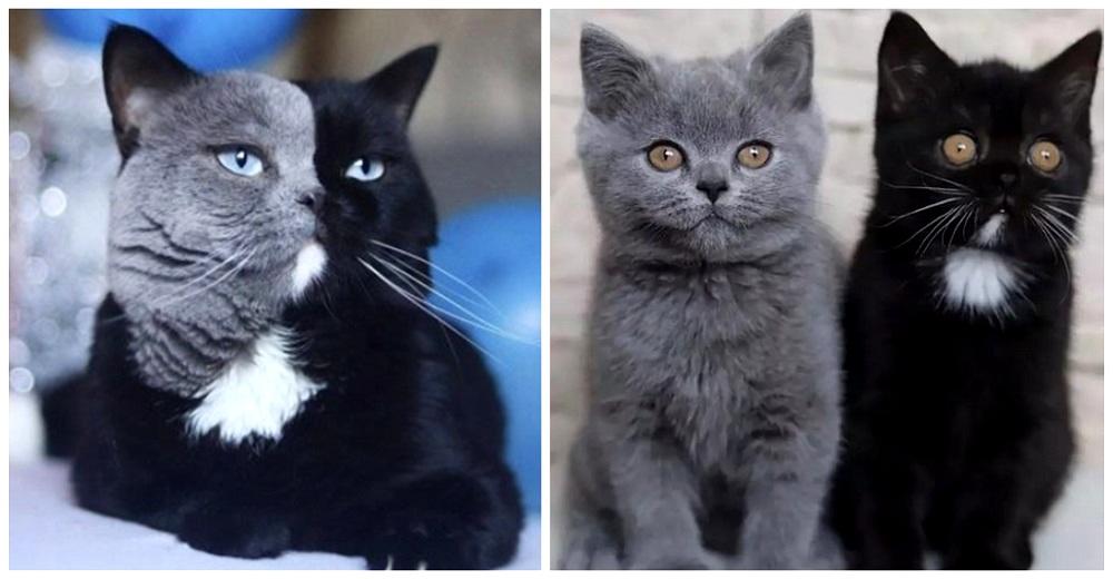Nacen dos gatitos que se repartieron los colores de su hermoso padre con carita bicolor