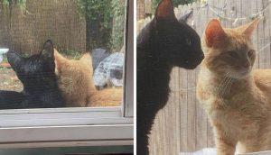 Pareja de gatos visita todos los días una casa hasta que les dejen entrar para tener a sus bebés