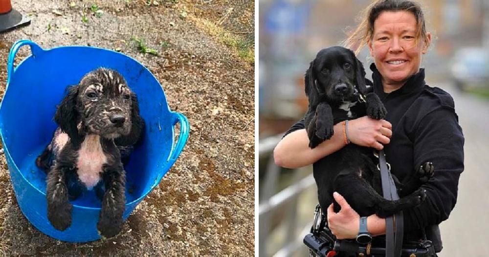 Badger, el cocker spaniel abandonado en un balde, ahora es un excelente rastreador de la Policía