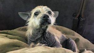 Un perrito anciano sin nada de pelo detiene un coche en un camino de tierra para pedir ayuda