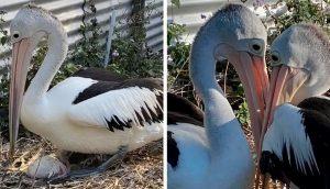 Pelícanos que desearon por años tener un bebé se emocionan cuando al fin su huevo eclosiona