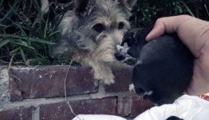 Perrita contempla pacientemente el rescate de cada uno de sus cachorros