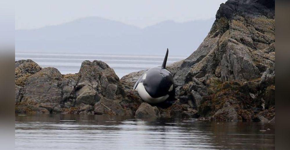 Orca atrapada entre las rocas no dejó de llorar hasta que finalmente llegaron a ayudarla