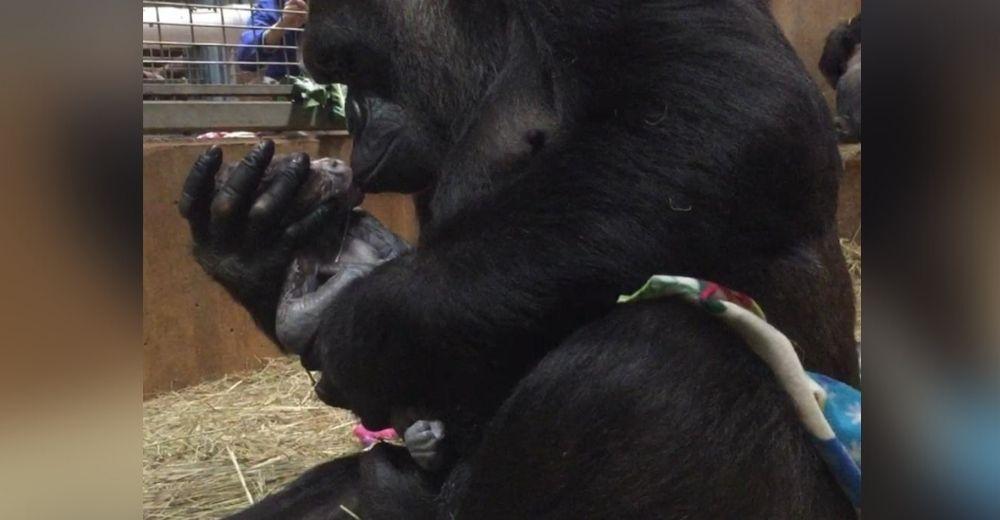 Captan a una mamá gorila acunando y besando con ternura a su bebé recién nacido