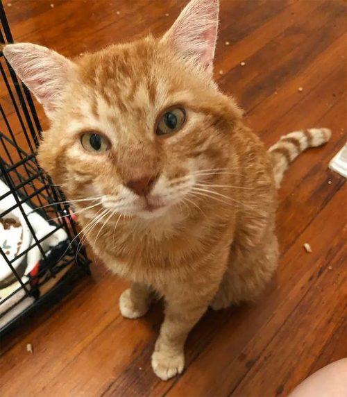 amigable gato busca cariño en un hogar
