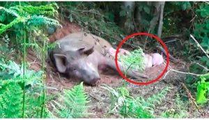 Cerdita embarazada se fuga de la granja para dar a luz y salvar a sus bebés
