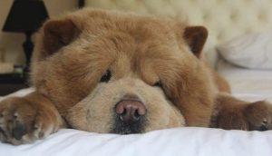Perrito que parece un oso de peluche gigante se enferma y todos lo están llenando de amor