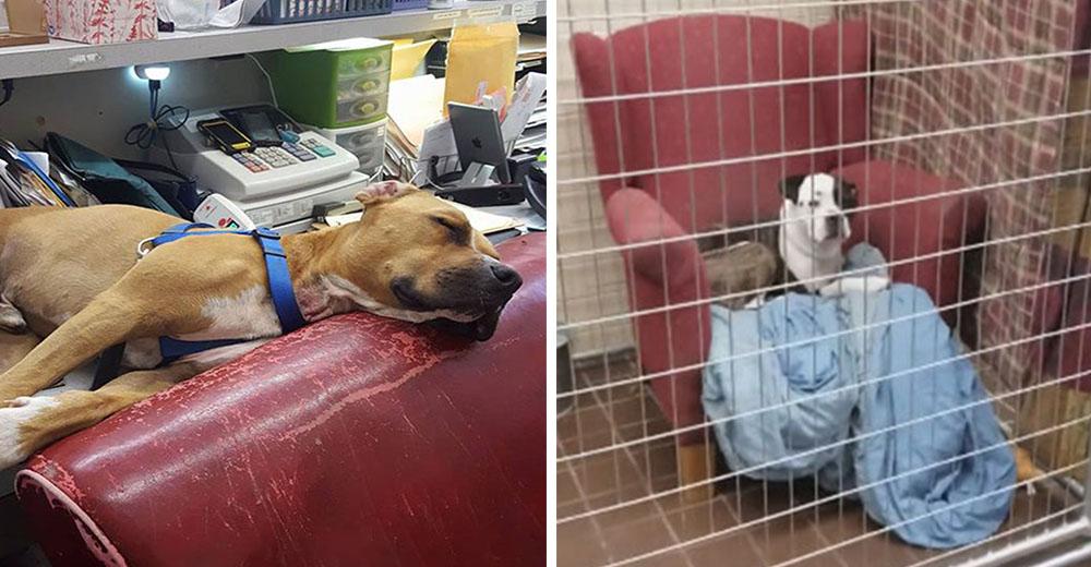 Refugio ofrece a sus perros sillas grandes y cómodas para que se sientan como en casa
