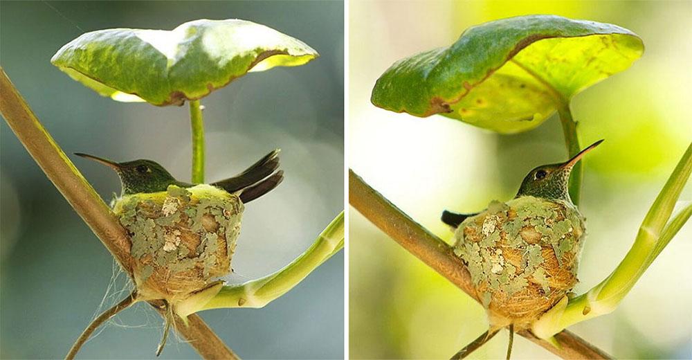 Mamá colibrí construye un perfecto nido con techo para proteger a sus polluelos
