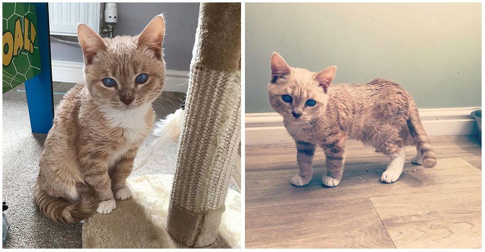 Gato con extraño tipo de enanismo está destinado a quedarse como un pequeño gatito para siempre