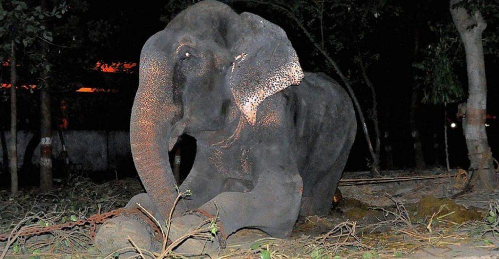 Elefante llora cuando al fin lo rescatan tras vivir más de 50 años encadenado