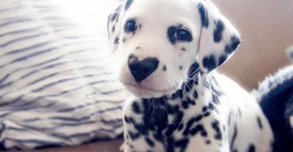 Perrito dálmata con naricita en forma de corazón sabe lo adorable que es
