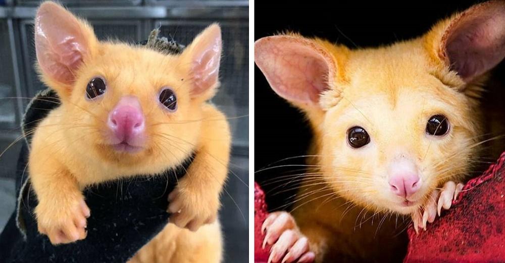 Rescatan una rara zarigüeya bebé dorada que parece un «Pikachu» de la vida real