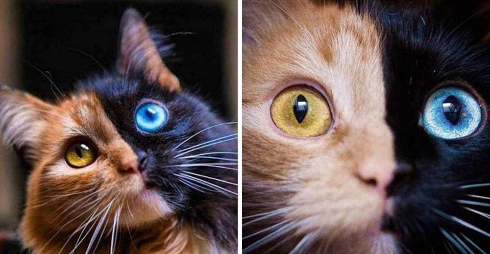 Difunden las fotos de una gata de «dos caras» que hipnotiza a todos en las redes
