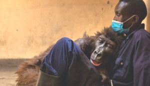 Gorila muere en los brazos del guardabosques que la salvó hace 14 años cuando era bebé