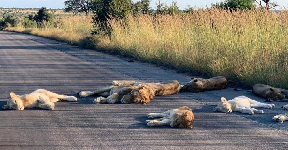 Leones toman una siesta en la carretera aprovechando la tranquilidad de la vida sin humanos