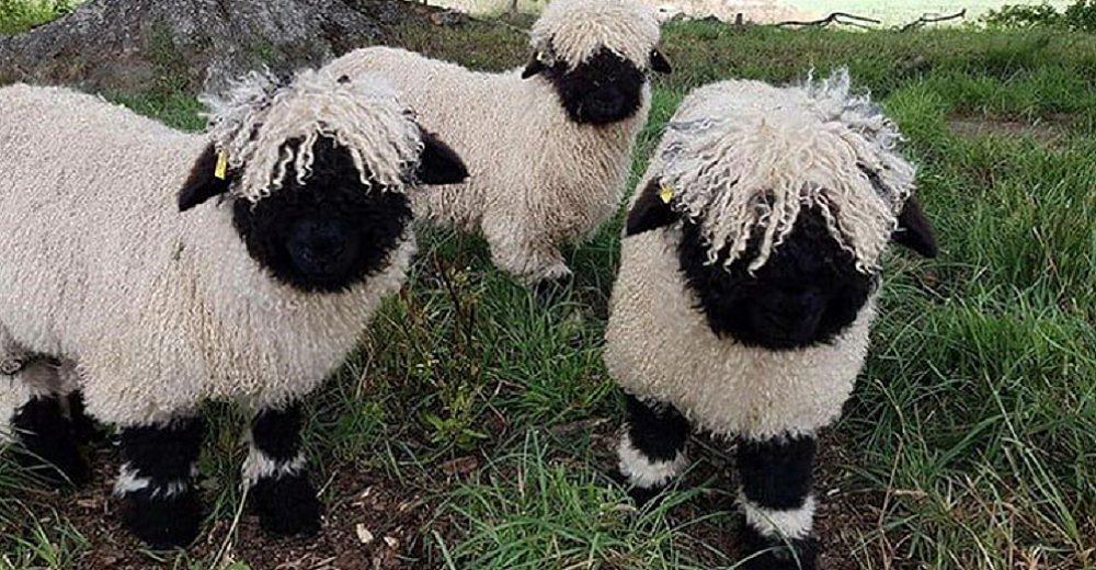 Las ovejas valais Blacknose enamoran a todos por parecer tiernos animales de peluche